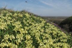 Niska-perunika-Iris-pumila-Titelski-breg